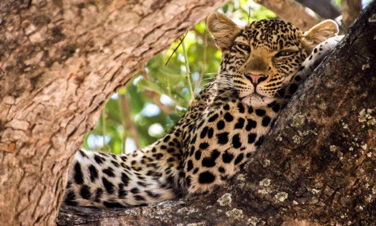 Cheetah at Ruaha National Park