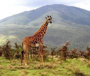 Giraffe at Lake manyara national park
