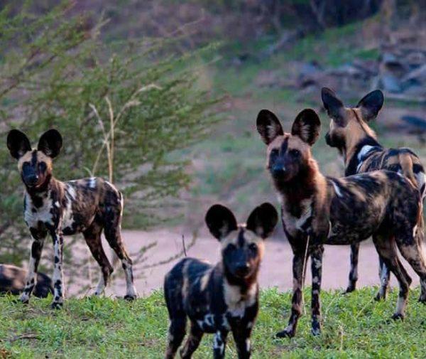 Hyenas at Ruaha National Park