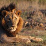 Lion at Nairobi National Park