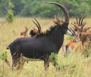 Ruaha National Park Antelops