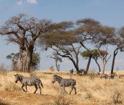 Tarangire National Park Zebras