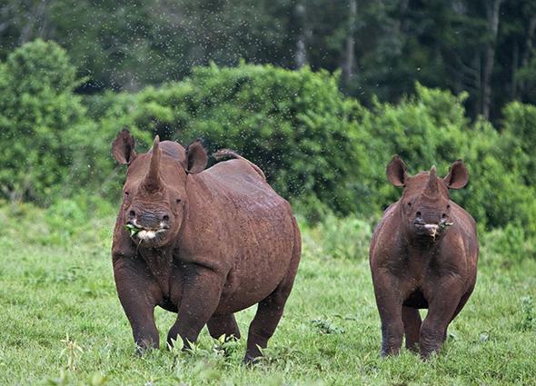 Black Rhinos in Aberdares National Park