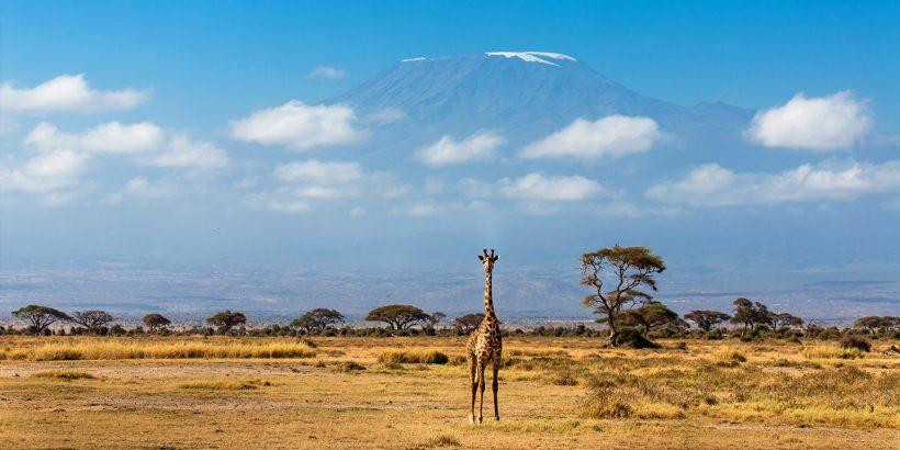 Giraffe in Amboseli