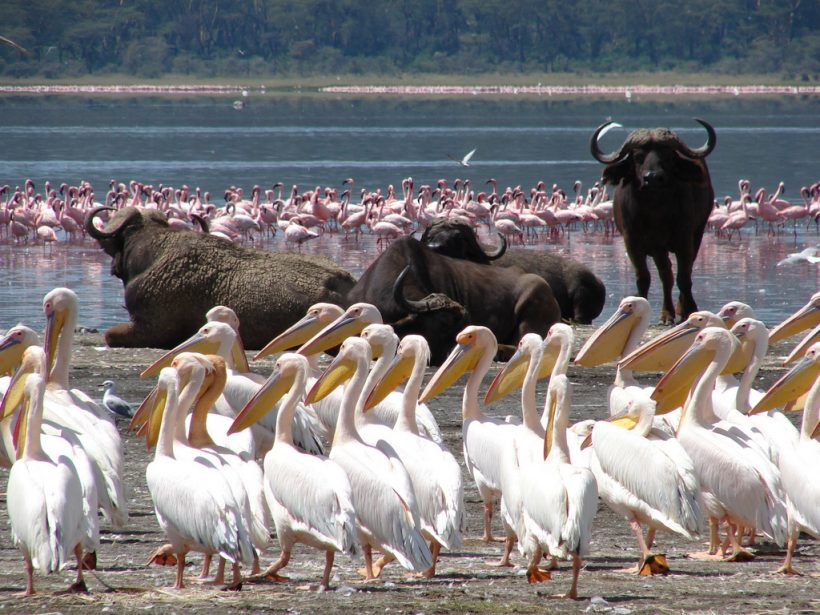 Lake Nakuru Buffalo