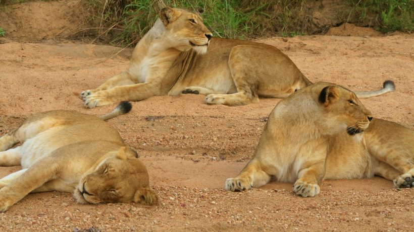 Lions of Tsavo East