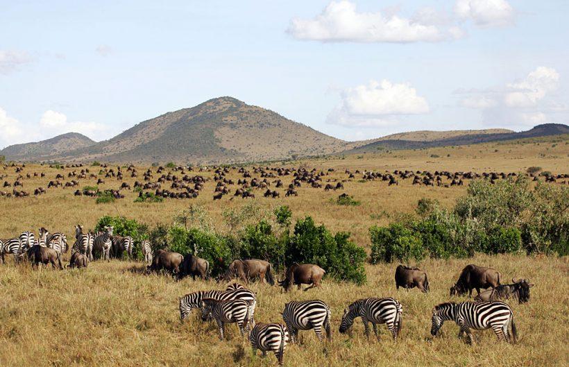 Masai_Mara_National Zebras