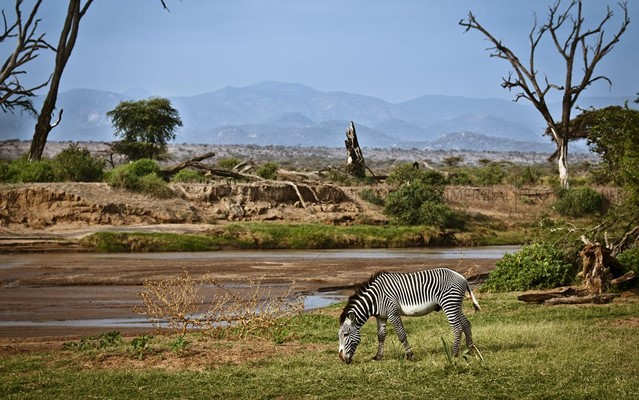 samburu game reserve zebra